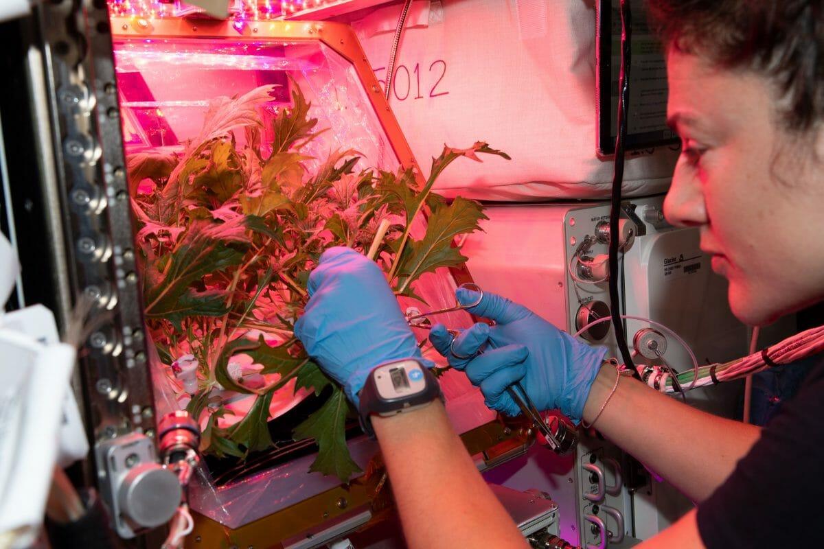 ISSで育てられている水菜の葉をカットするジェシカ・メイヤー宇宙飛行士