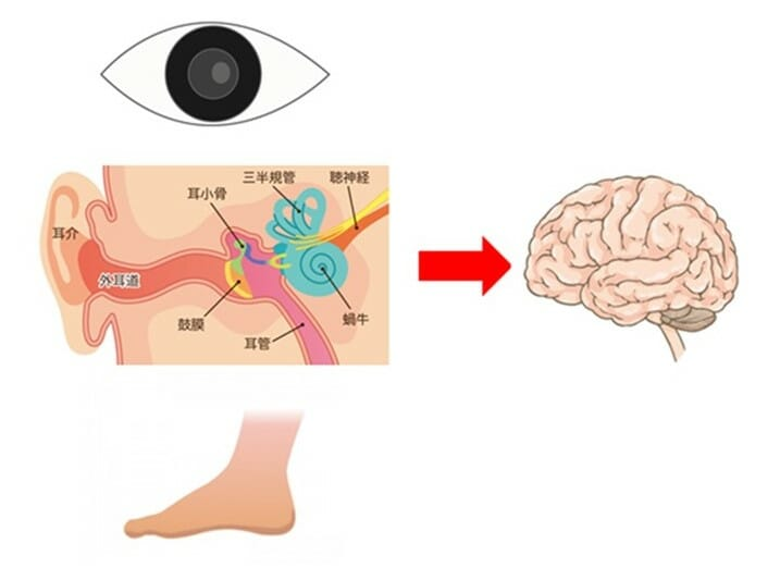 地上:各器官からの感覚情報を統合し、人は自分の姿勢をコントロールしている